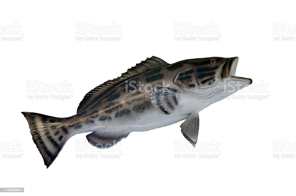 Black Grouper fish mount stock photo