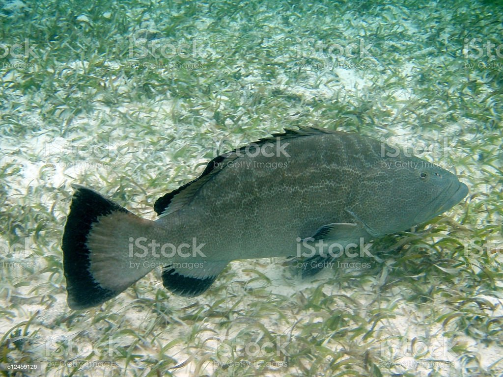 Black Grouper Hol Chan Reserve Ambergris Caye Belize copy space stock photo