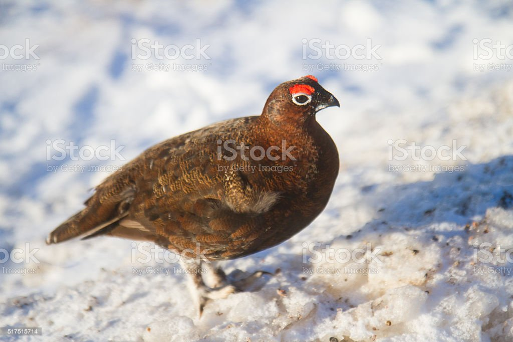 Black Grouse in the Snow stock photo