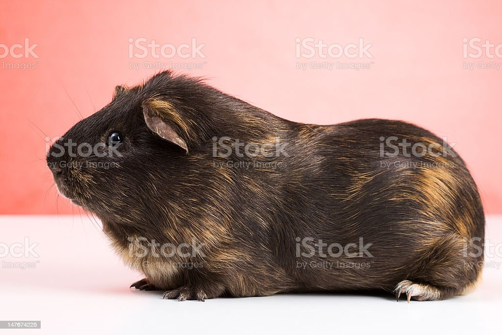 Black guinea pig royalty-free stock photo