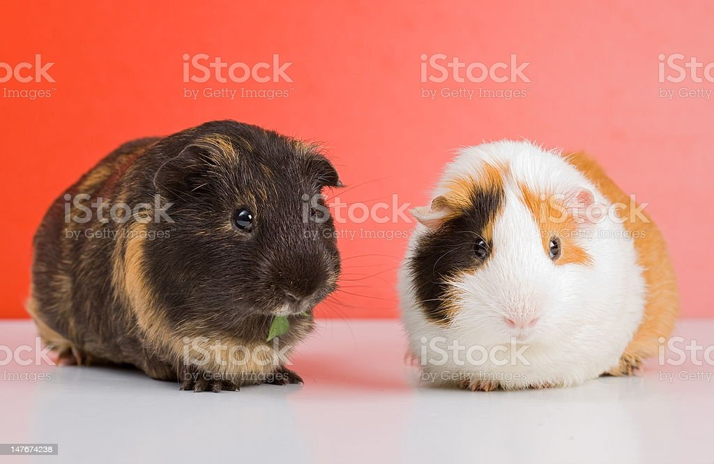 Black guinea pig royalty-free stock photo