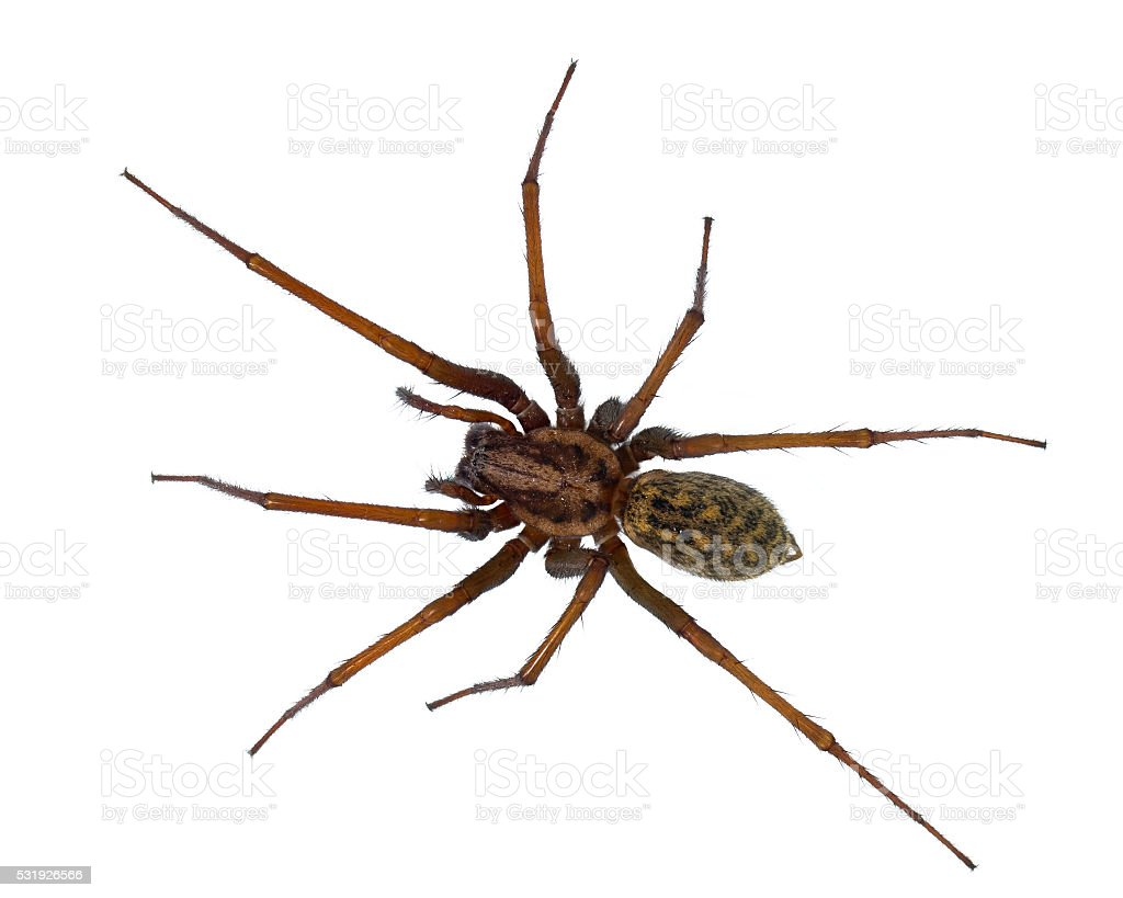 Black hairy House spider isolated on white stock photo
