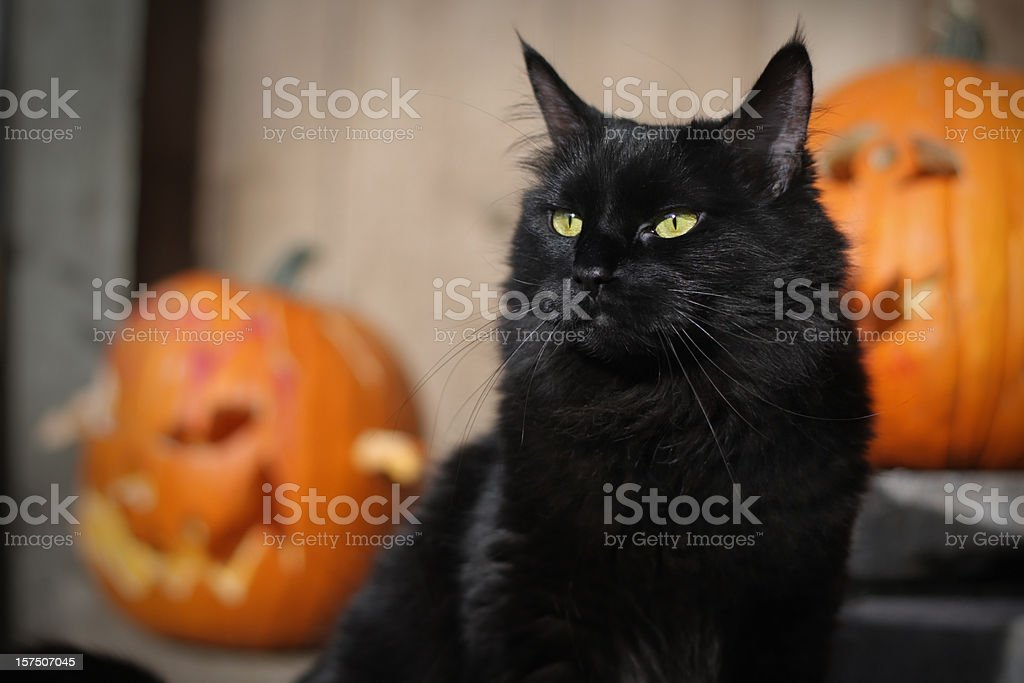 Black Halloween Cat stock photo