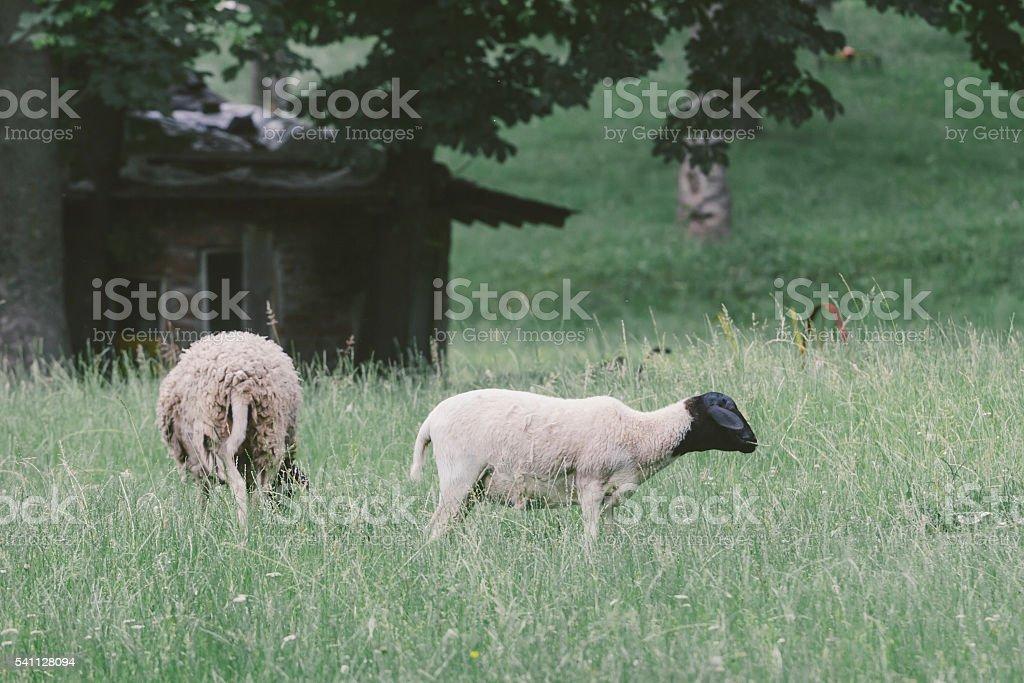 Black head sheep grazing grass on farm pasture stock photo