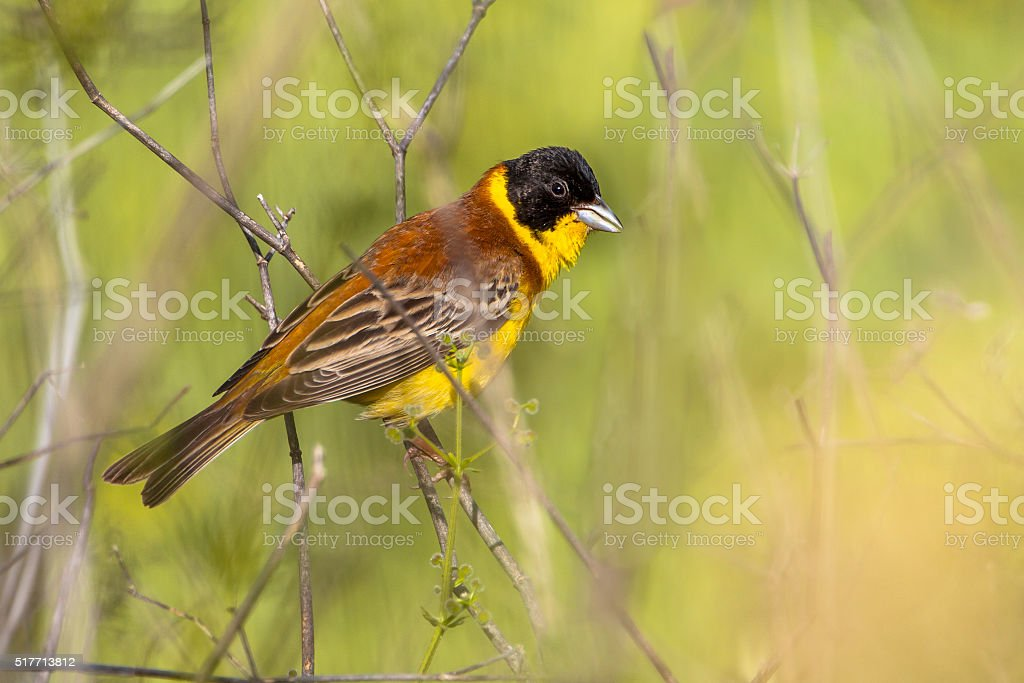 Black headed Bunting perched on a branche stock photo