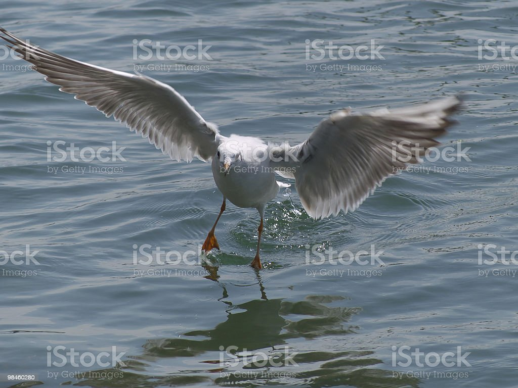 black headed gull royalty-free stock photo