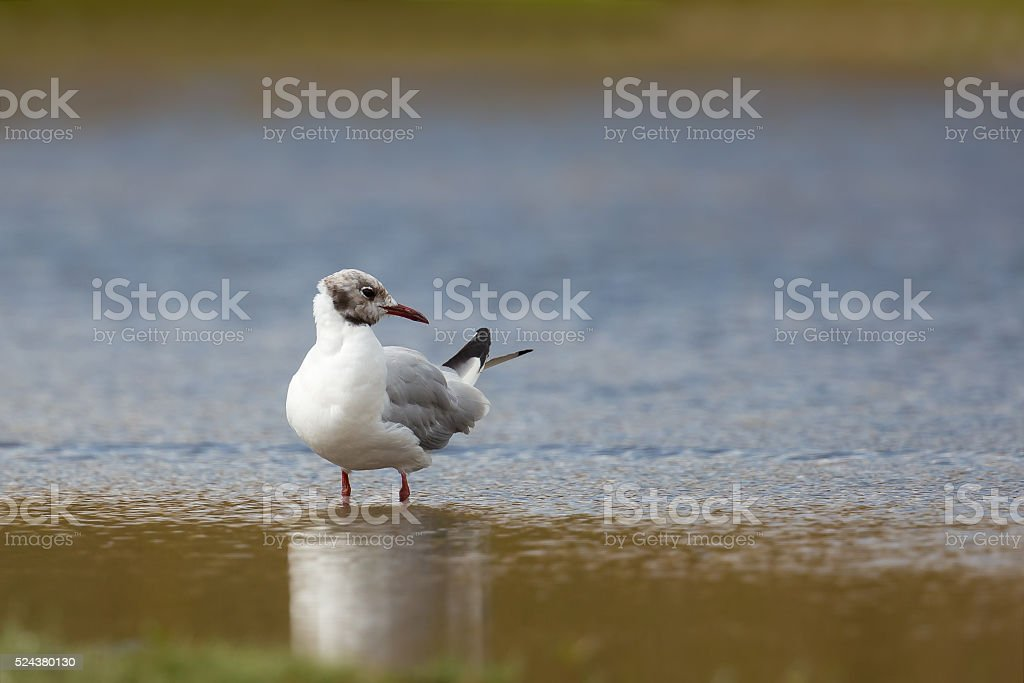 Black headed Gull stood in water stock photo