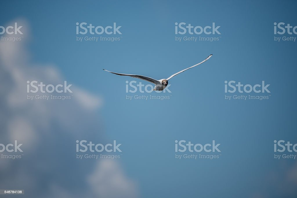 Black Headed Seagull Flying in Blue Sky stock photo