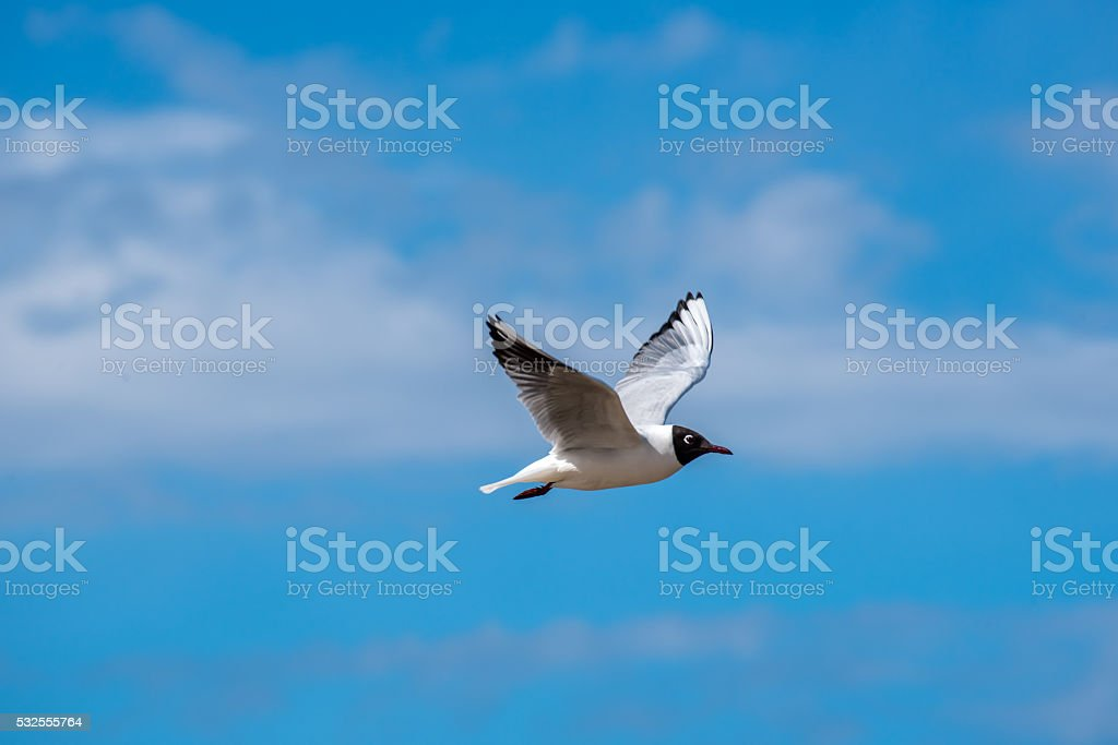 Black Headed Seagull over the Baltic Sea stock photo