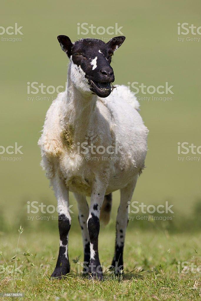 Black Headed Sheep stock photo