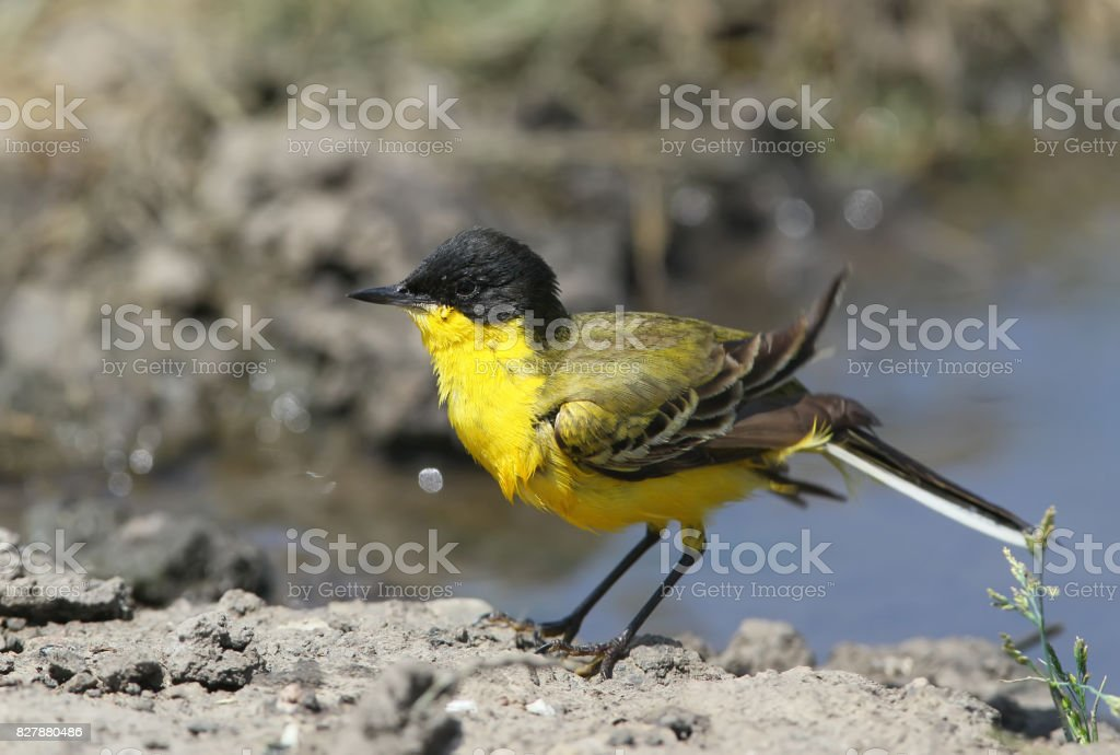 Black headed wagtail swimming with plesure. Photographed near Odessa city. stock photo