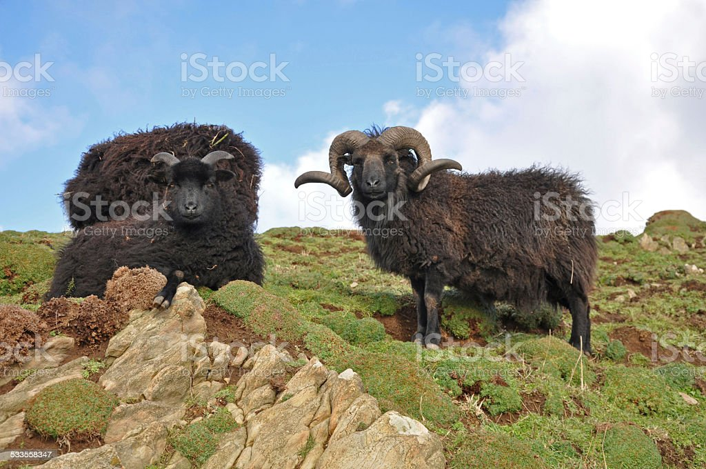 Black Hebridean Ram and ewes stock photo