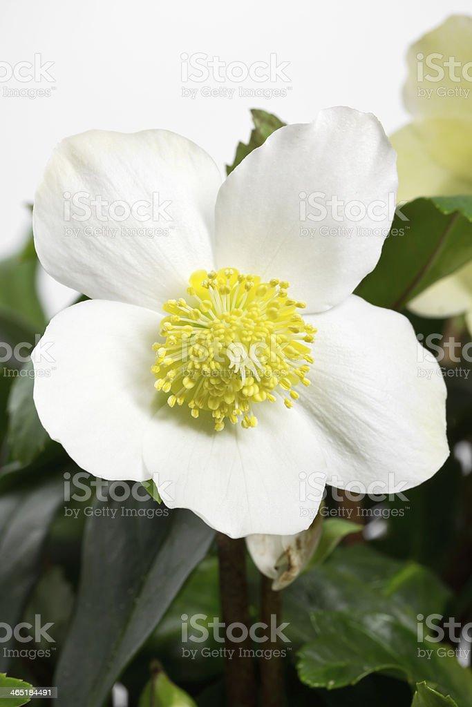 Black hellebore, Helleborus niger or Christmas Rose stock photo