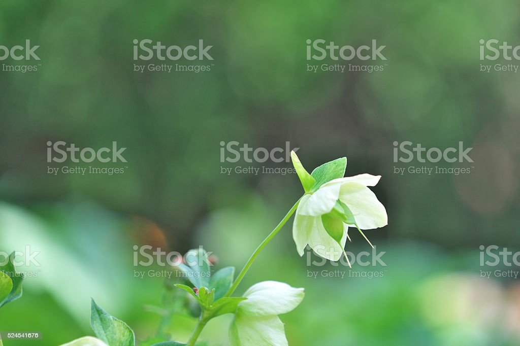Black hellebore stock photo