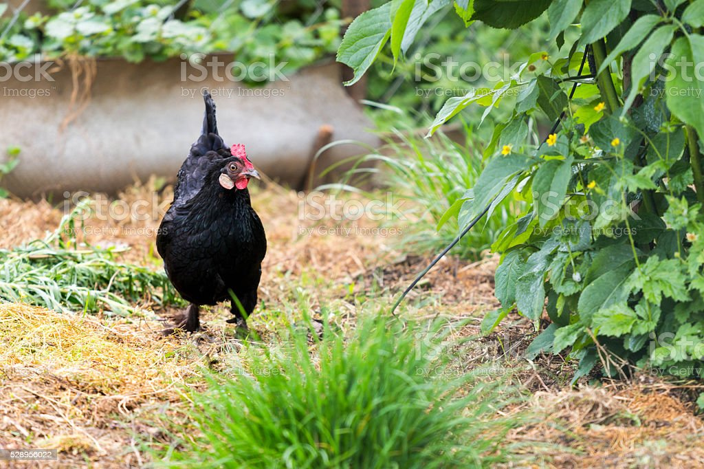 Black Hen stock photo