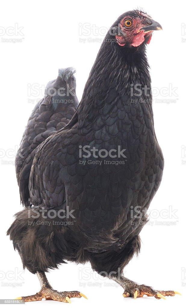 Gallina negro foto de stock libre de derechos