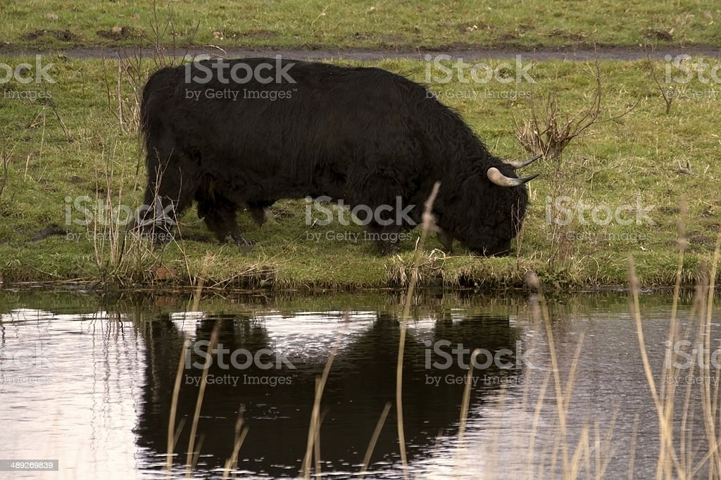 black highlander bull reflected in water stock photo