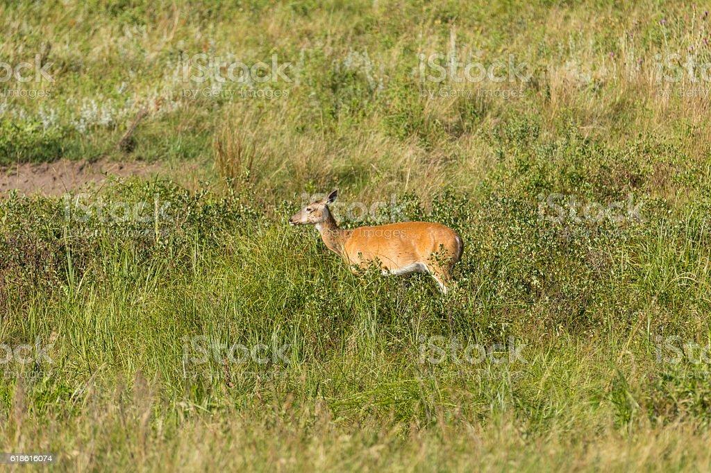 Black Hills Deer stock photo