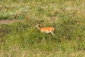 Black Hills Deer