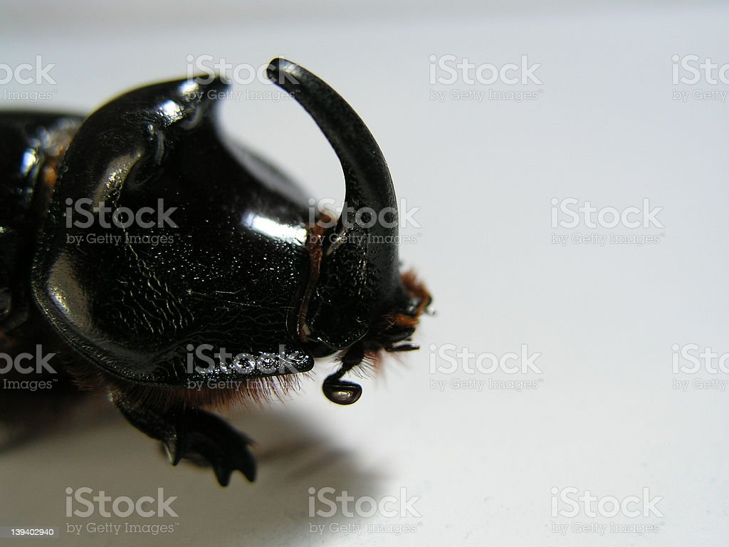 black horn insect stock photo