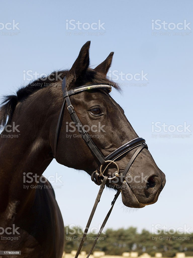 Black Horse Head Shot royalty-free stock photo