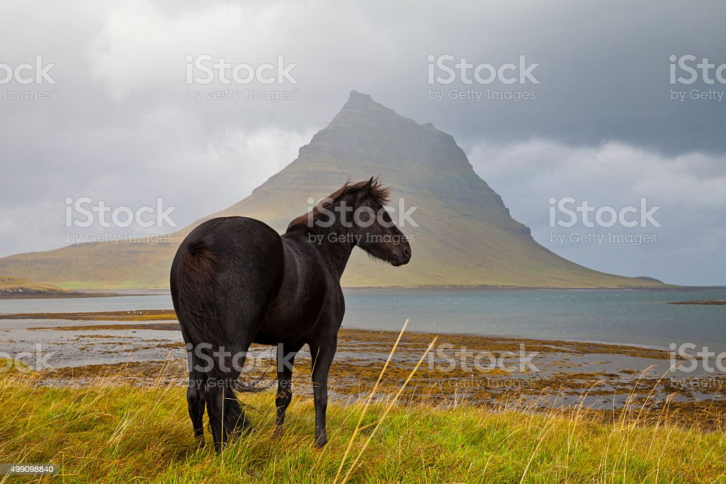 Black horse in Iceland stock photo