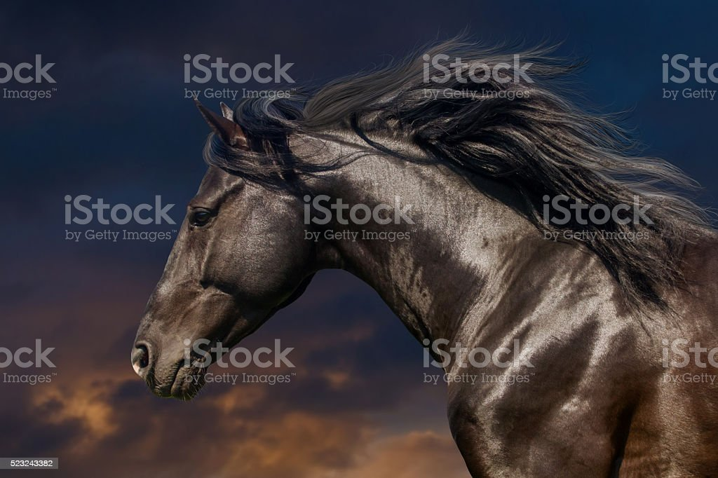 Black horse in motion stock photo