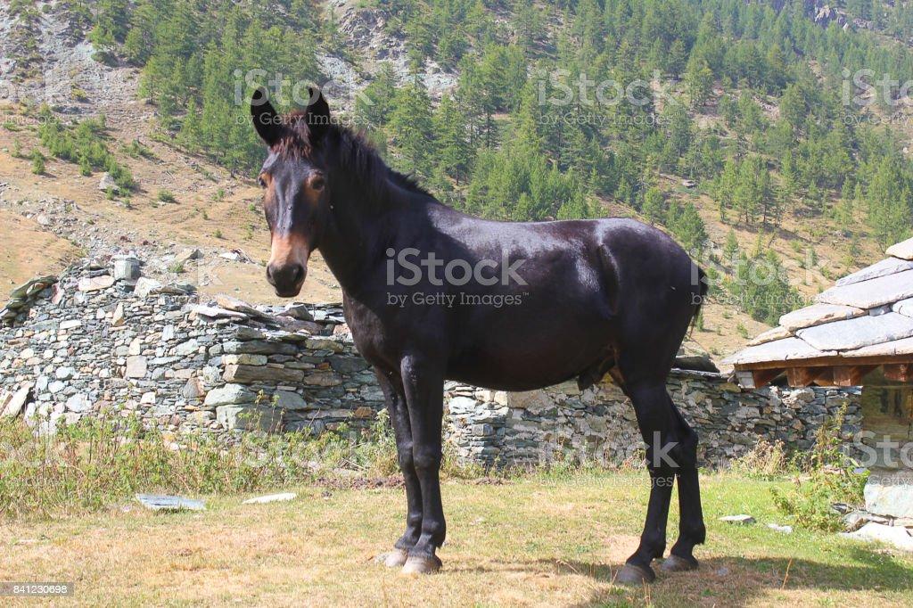 black horse in mountain stock photo