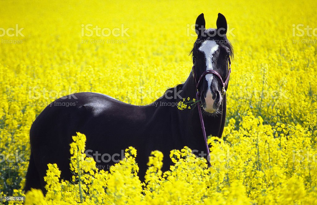 black horse in rape field stock photo