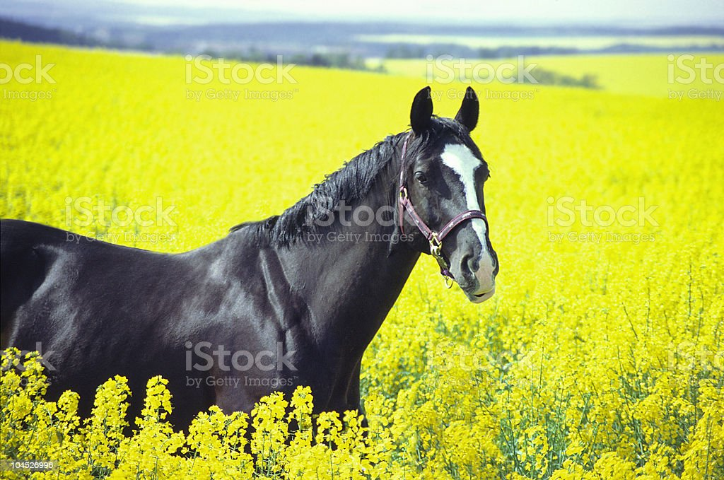 black horse in yellow rape stock photo