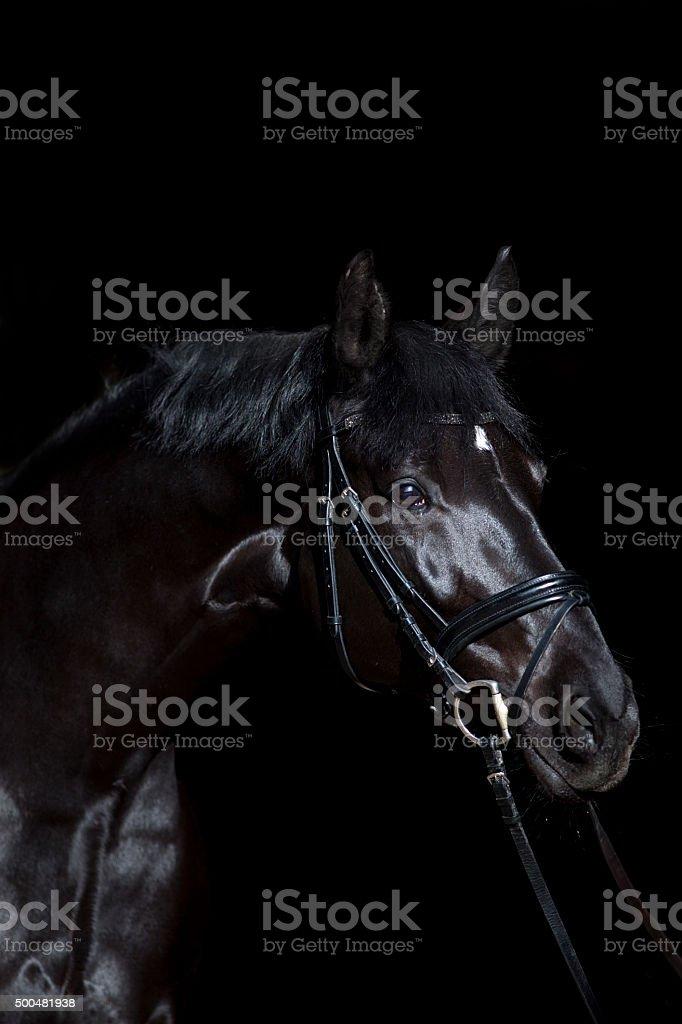 black horse on black background stock photo