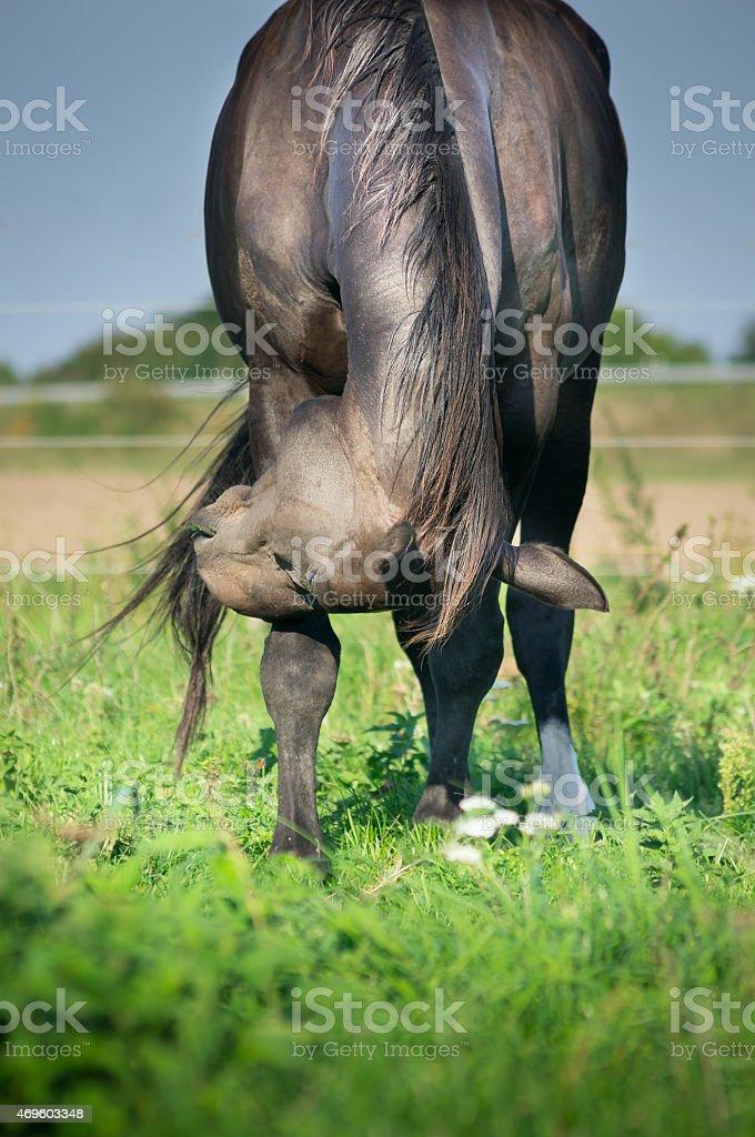 Black horse on green summer pasture stock photo