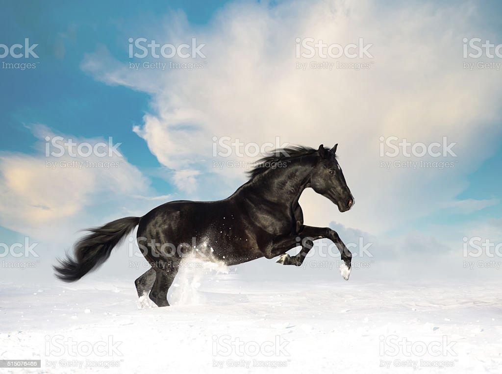 Black horse run in the snow stock photo