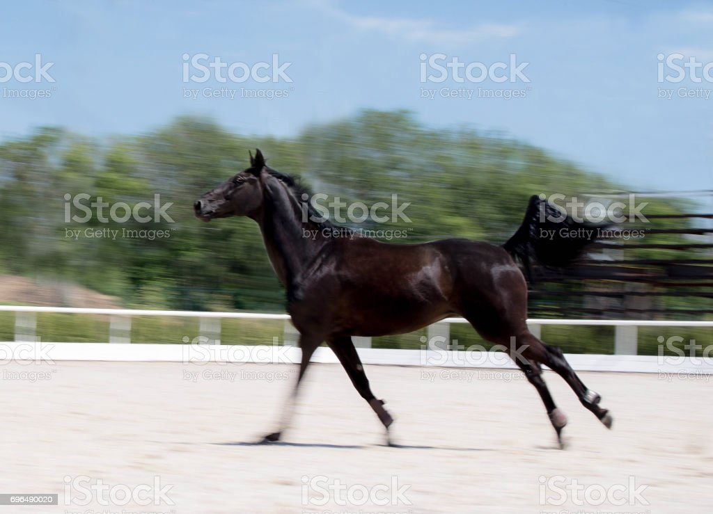 Black horse running at field in summer, motion blur background. Night-crow stallion galloping along the sand open riding arena. stock photo