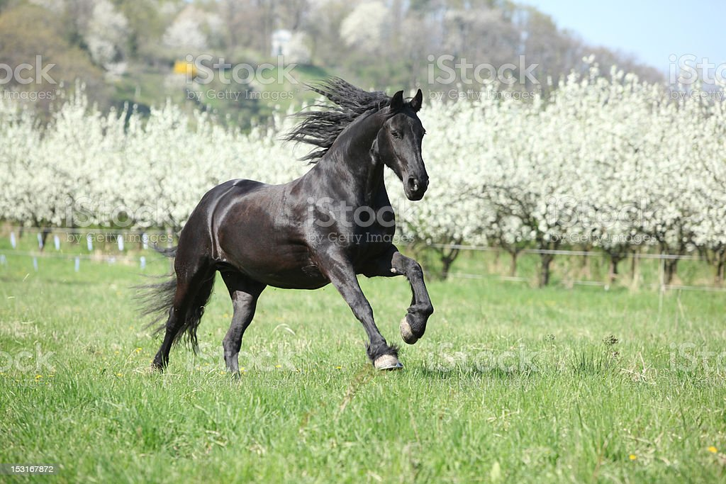 Black horse running royalty-free stock photo