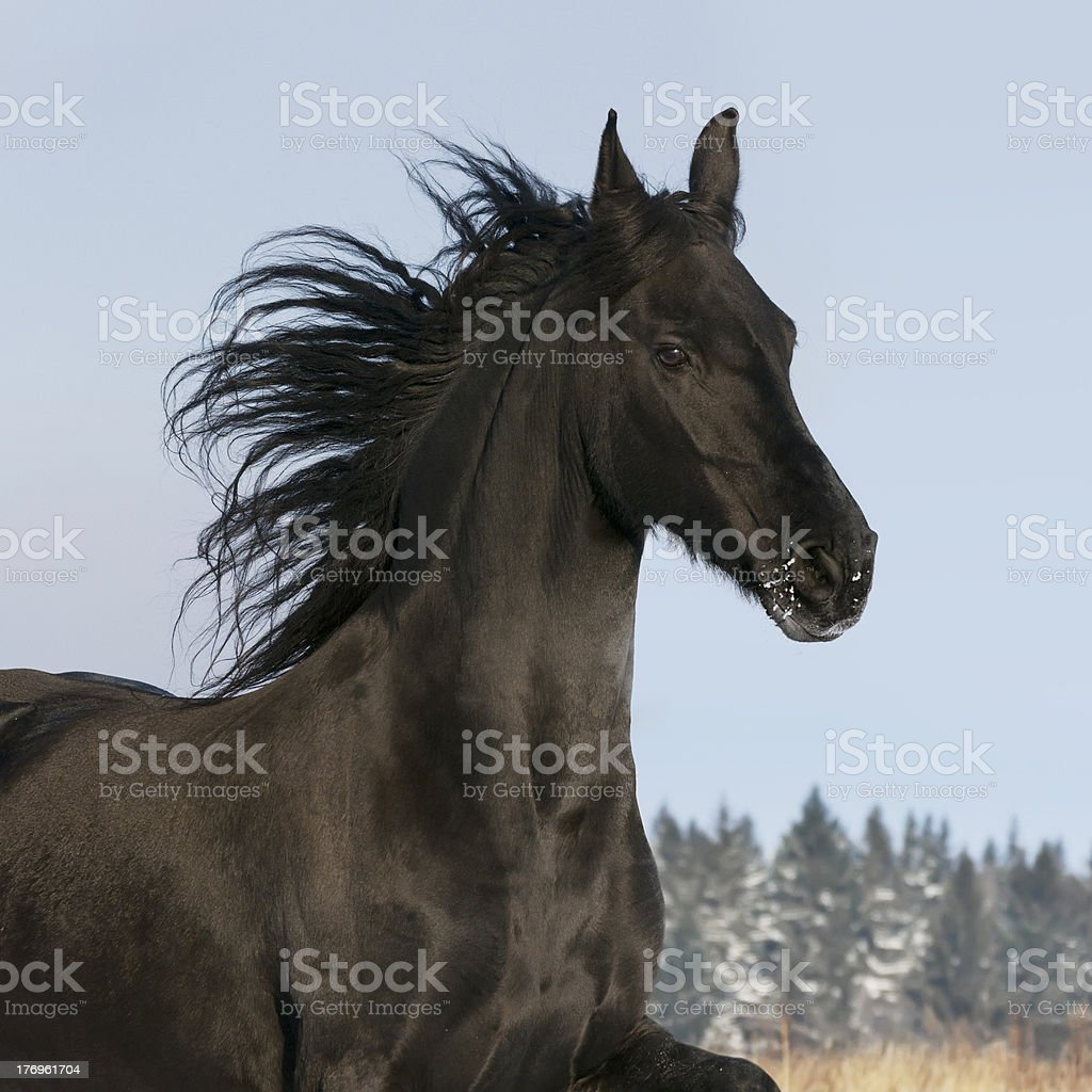 black horse runs gallop stock photo