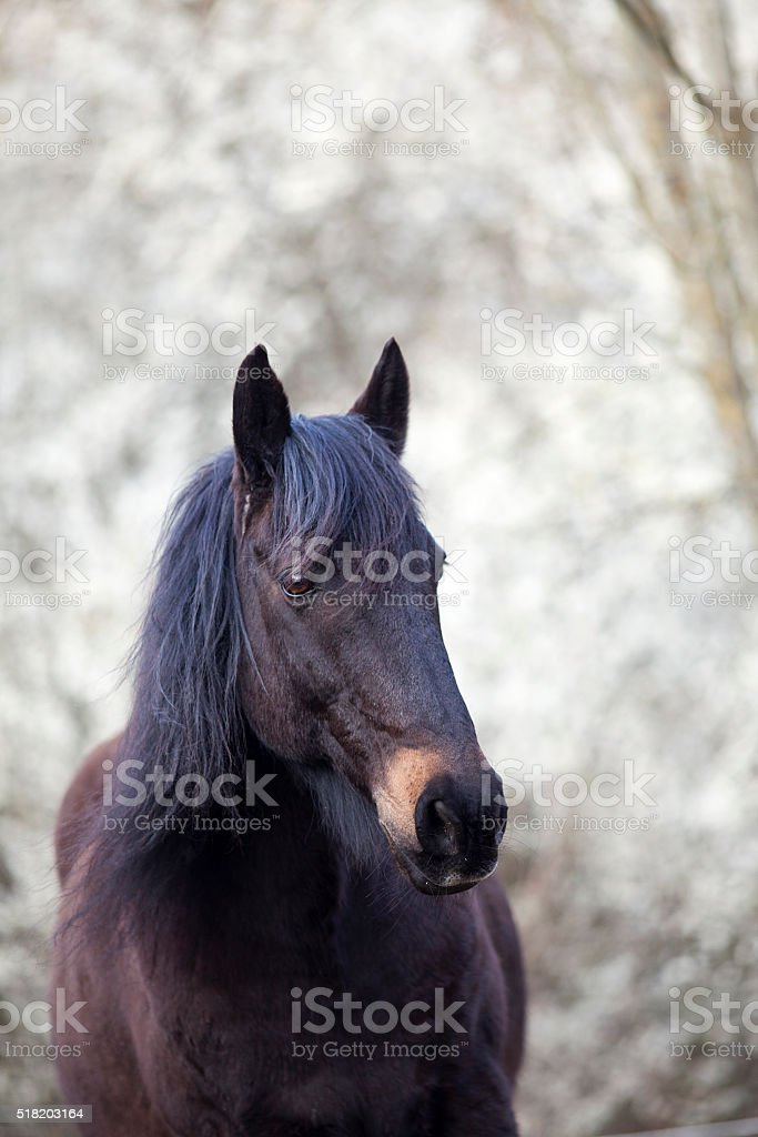 black horse with natural white background stock photo