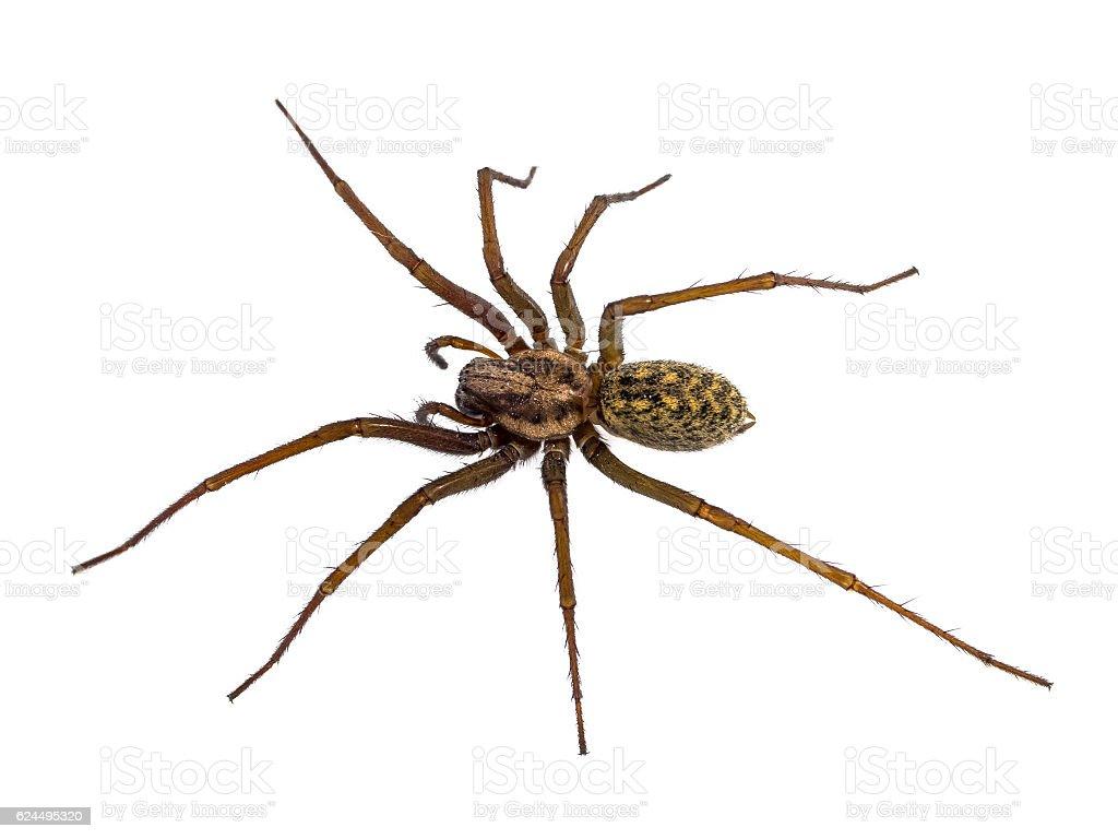 Black House spider isolated on white stock photo