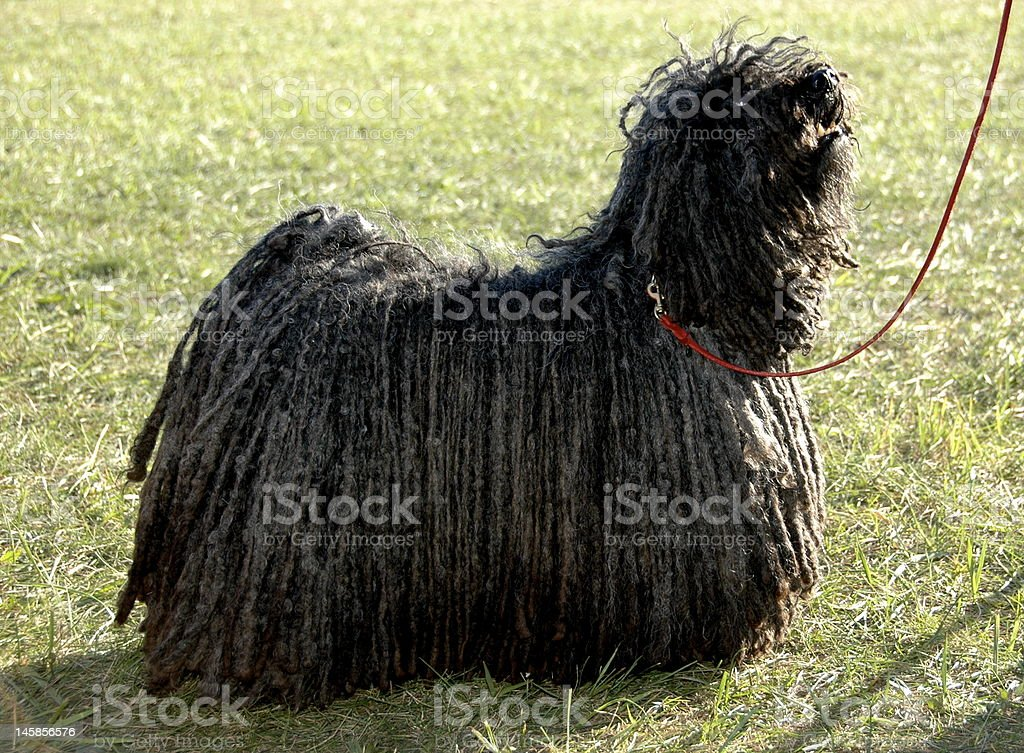 Black Hungarian Puli on Grass with Red Leash stock photo