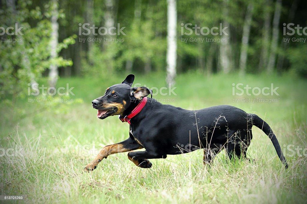 Black hunting dog stock photo