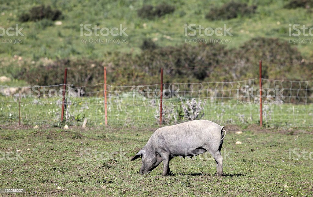 Black Iberian pig on a meadow royalty-free stock photo