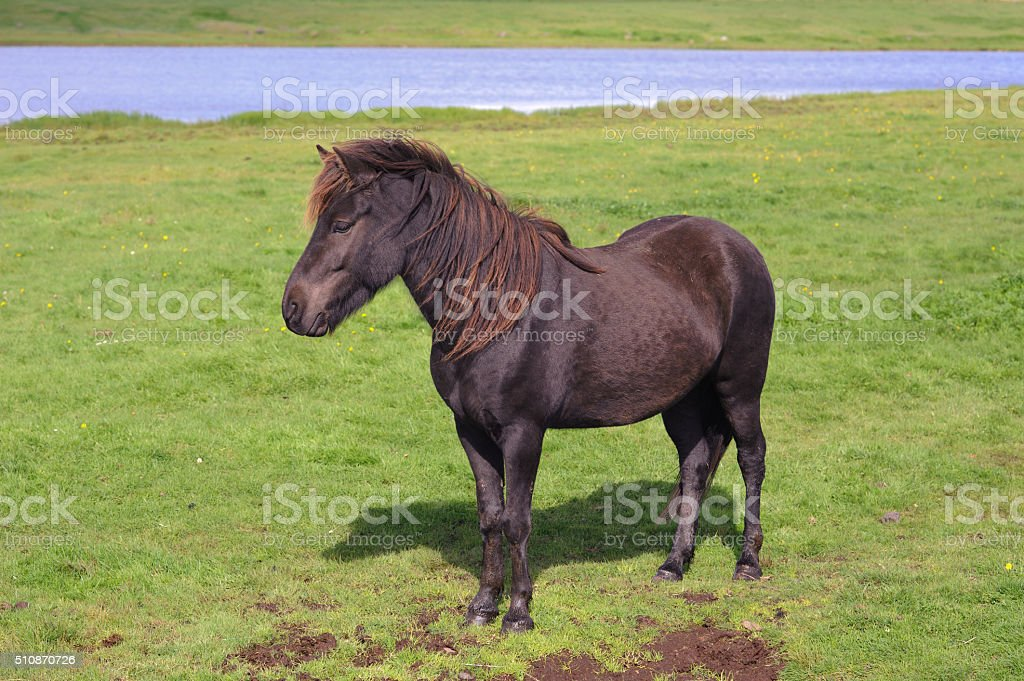 Black Icelandic Horse stock photo