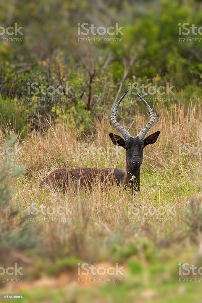 black impala stock photo