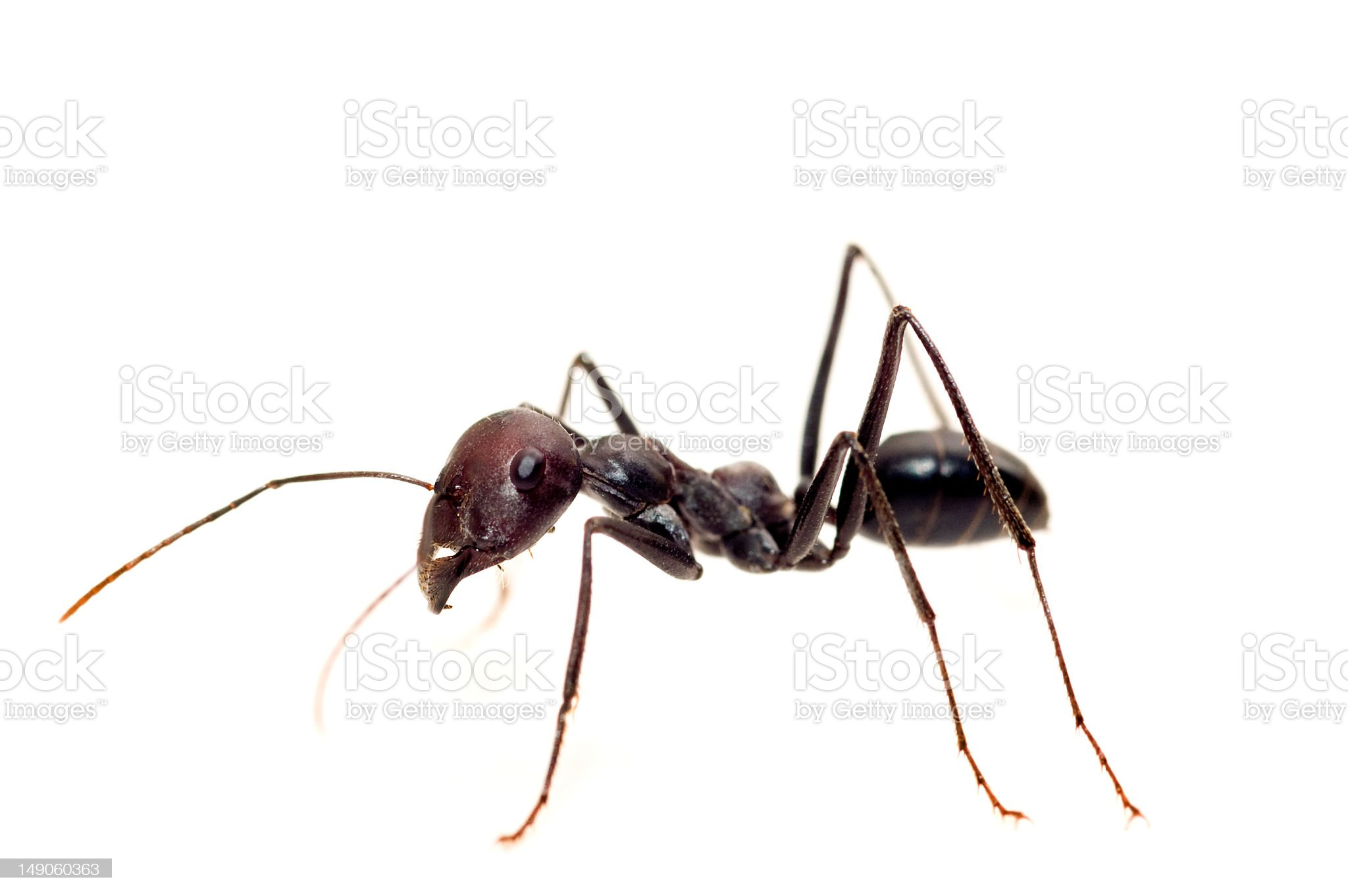 A black isolated ant against a white background royalty-free stock photo