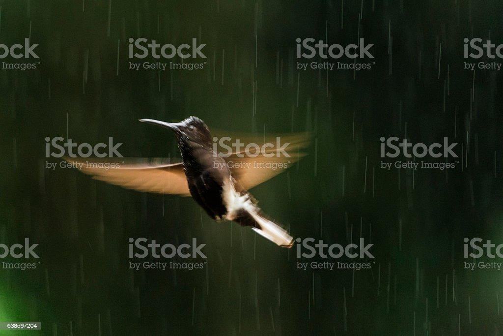 Black jacobin (Florisuga fusca) stock photo