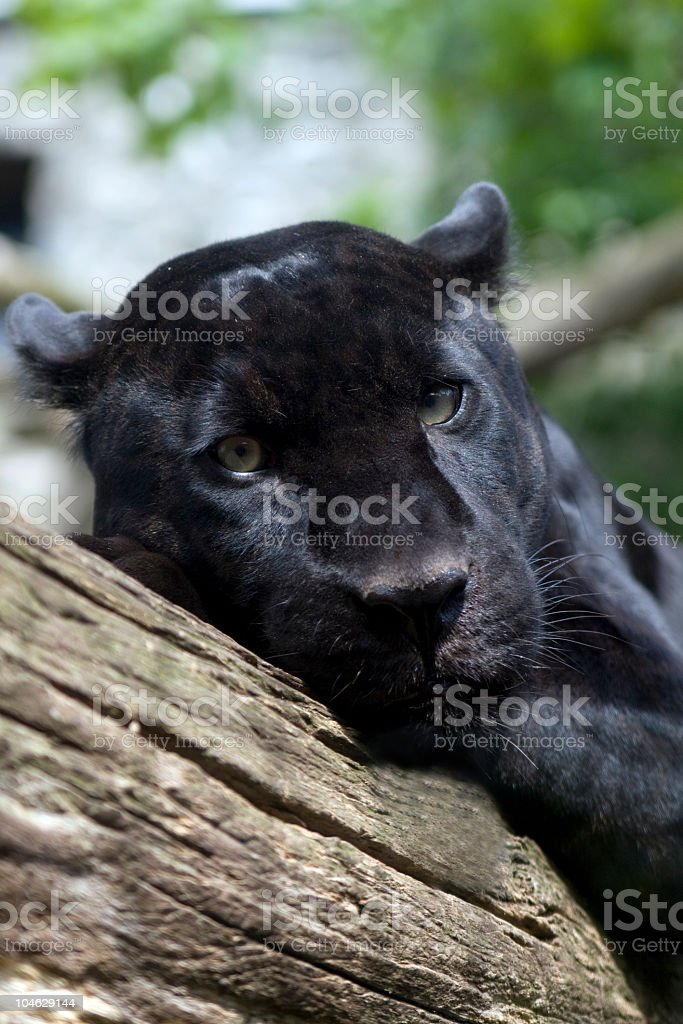 Black Jaguar royalty-free stock photo