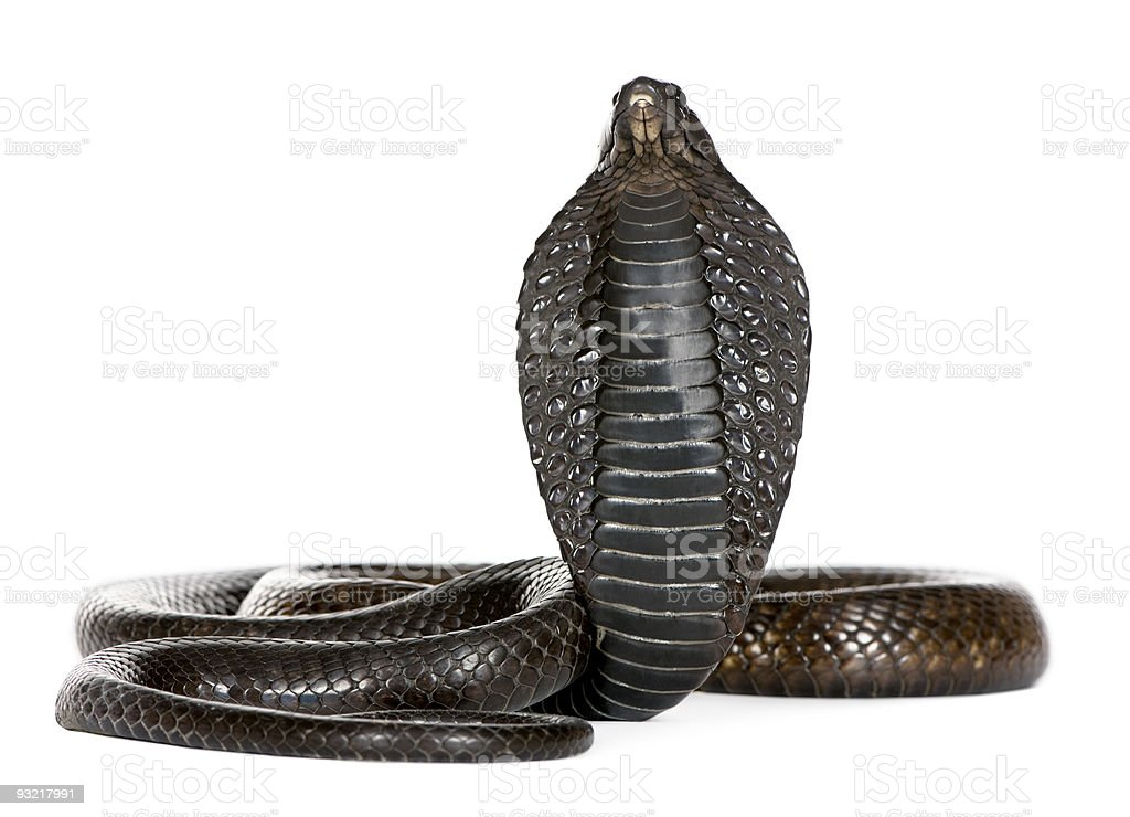 Black king cobra stands with head puffed out stock photo