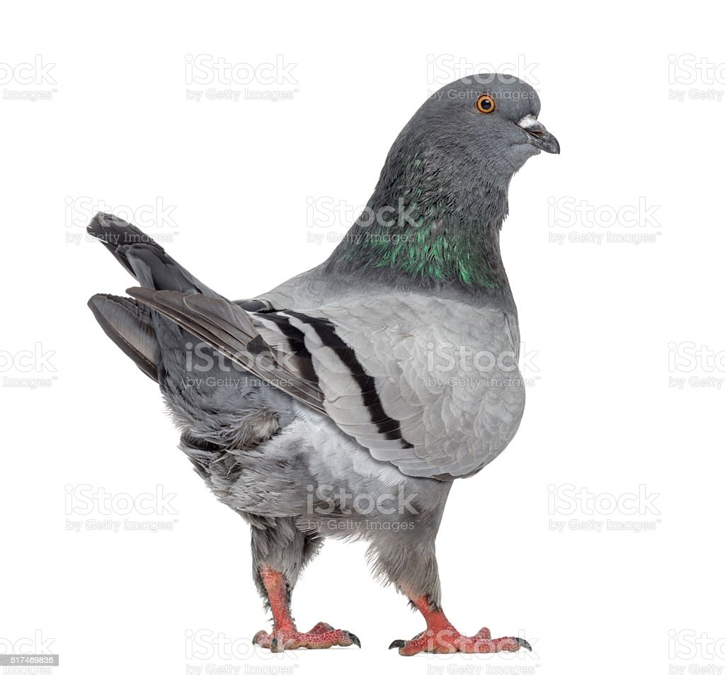 Black King Pigeon isolated on white stock photo