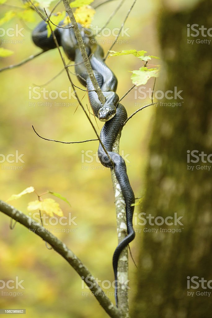 Black King Snake stock photo