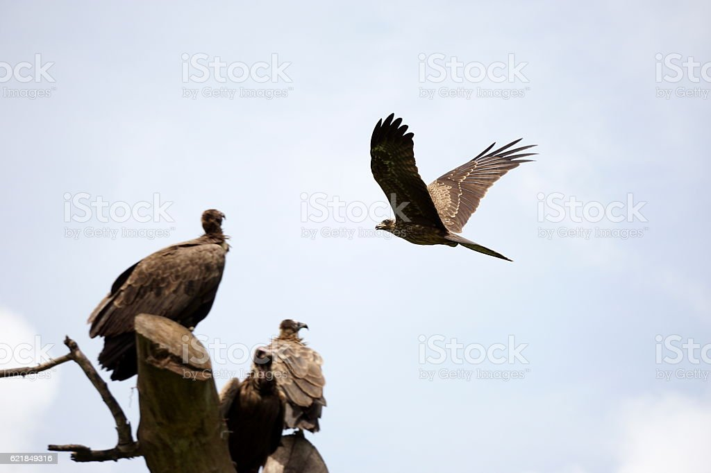 Black kite and hooded vultures stock photo